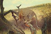 Leopard closeup