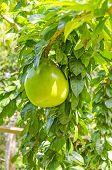 Lucuma fruit (Pouteria lucuma) on tree in Bolivian jungle