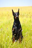 Doberman Dog