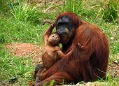 Orangutan & Baby