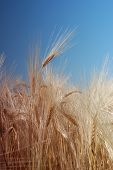 wheat field over clear blue sky