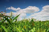 corn plants over clear blue sky