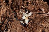 image of deer rack  - A resting buck deer with a good rack - JPG