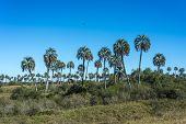 Palms On El Palmar National Park, Argentina