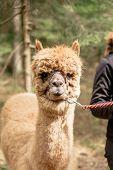 image of reining  - Holding a brown fluffy alpaca by rein - JPG
