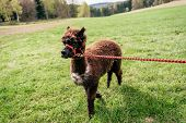 stock photo of reining  - Running fluffy brown alpaca on the rein - JPG