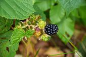 Agrestic Blackberries