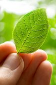 Male Hand Holding Young Green Leaf
