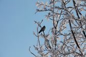 lonely black bird on a snowy tree