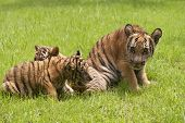 Baby Indochinese tigers play on the grass.