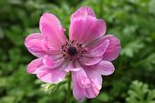 pink Anemone on green background