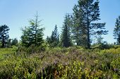 picture of blue spruce  - Vegetation on a summit plateau in the northern Black Forest, heather, blueberries and cranberries, pine and spruce trees, grasses, blue sky,