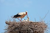 White stork with their young on the nest