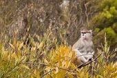 Patas Monkey (Erythrocebus patas).