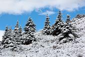 Spruce Tree Winter