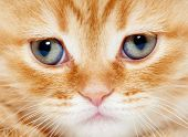 closeup muzzle of british shorthair red kitten cat