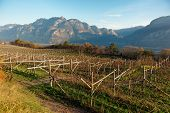 Vineyards of Trentino, Italy, Alps in the background