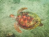 stock photo of french polynesia  - A turtle swimming underwater off the beach of Moorea French Polynesia - JPG
