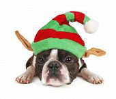 a boston terrier with a christmas hat on