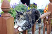 picture of bannister  - A tabby cat reclines on its front on a wooden rail - JPG