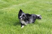stock photo of border collie  - Jazz shows other border collies how to look like a proper lady - JPG