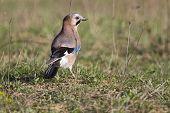 foto of blue jay  - Jay bird in the grass looking away  - JPG