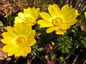 foto of adonis  - Plant of the adonis spring with bright yellow flowers - JPG