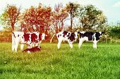 stock photo of calves  - Dairy calves in lush spring field with sun flare filter effect - JPG