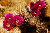 stock photo of cactus  - Flowering Hedge Hog cactus in the spring Arizona desert - JPG