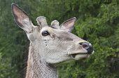 picture of deer head  - Deer head - JPG