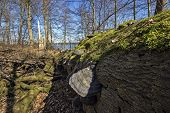 stock photo of rotten  - Rotten trees in a Danish forest broken down by storm - JPG