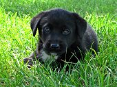 stock photo of sleepy  - Black sleepy puppy sitting in the grass - JPG