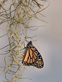 Monarch And Spanish Moss