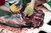 Dressing Of Deer Carcass