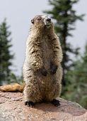 Ständigen Hoary Marmot