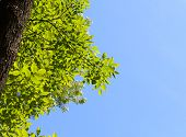 stock photo of ashes  - View from below on ash tree  - JPG