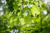 foto of foliage  - foliage of maple over blurry background of forest early sun backlit - JPG