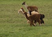 Playful Alpaca Race