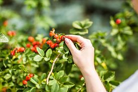 stock photo of wild-brier  - Gathering berries of wild rose - JPG