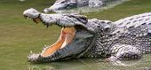 Crocodile Waiting Ffor Ood