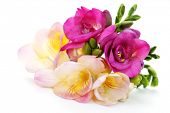 freesia flowers on white background - flowers and plants