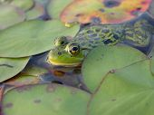 Frog In The Lilypads