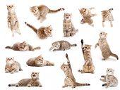 gato británico rayas y gatito aislaron conjunto