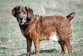 picture of foxhound  - dog - JPG