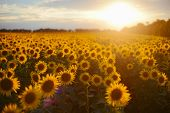 Sunflower Field Landscape. Field Of Blooming Sunflowers On A Background Sunset. Sunflower Natural Ba poster