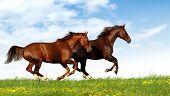 horses gallop