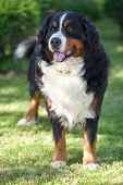 Bernese Mountain Dog (Berner Sennenhund, Bernois)
