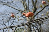 stock photo of scarlet ibis  - Scarlet Ibis or Eudocimus ruber bird perched on tree limb - JPG