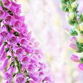 Beautiful purple digitalis or foxglove flowers in spring summer garden on blurry bokeh background