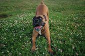 Boxer Hund